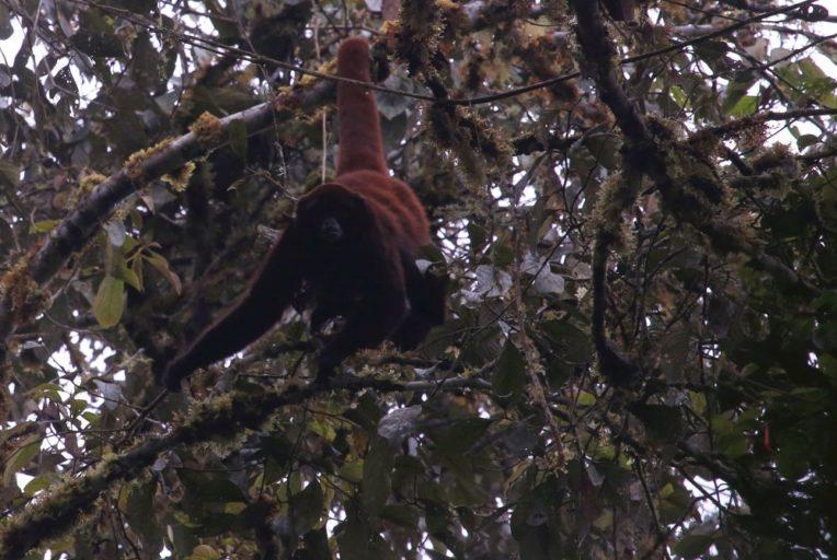 Se calcula que la población del mono choro de cola amarilla varía entre 1000 y 5000 individuos. Foto de Sam Shanee / NPC