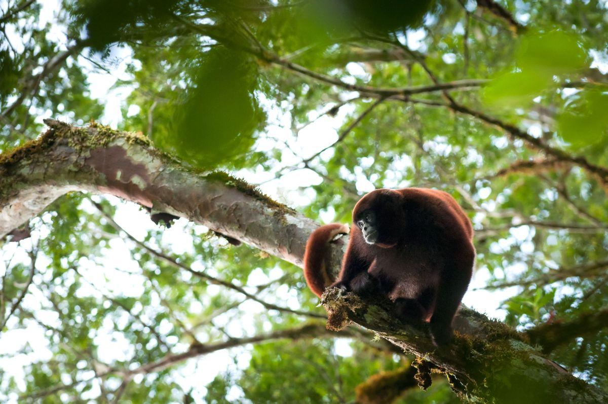 Por su gran tamaño, necesitan de árboles grandes con ramas gruesas para sobrevivir. Sin árboles se les acaba la vida. Foto de Andrew Wamsley / NPC