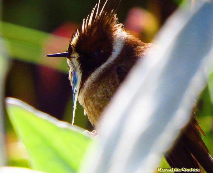 El barbudito azul está En Peligro Crítico de extinción según la UICN. Foto de Oswaldo Cortés