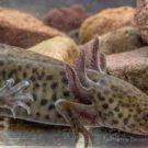 Una de las características más peculiares del Ajolote son sus tres pares de branquias externas y ramificadas, con las que respira al tomar el poco oxígeno de las aguas pantanosas. Foto de CONABIO