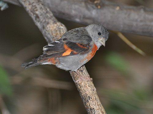 La hembra muestra coloraciones rojizas sólo en pecho, alas y cola. Foto cortesía de Jhonathan Miranda / Iniciativa Cardenalito