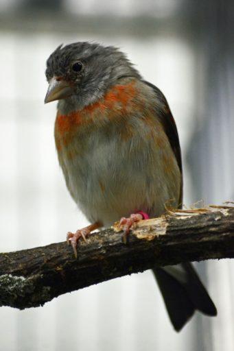 Ejemplar de cardenalito hembra. Foto cortesía de Jhonathan Miranda / Iniciativa Cardenalito