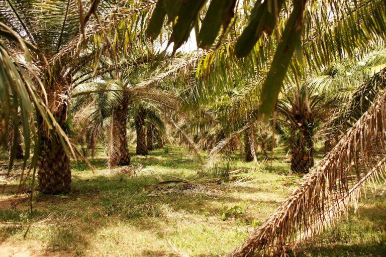 Plantación de palma aceitera en Maríalabaja. Foto: Pablo Rodero/María Rado.