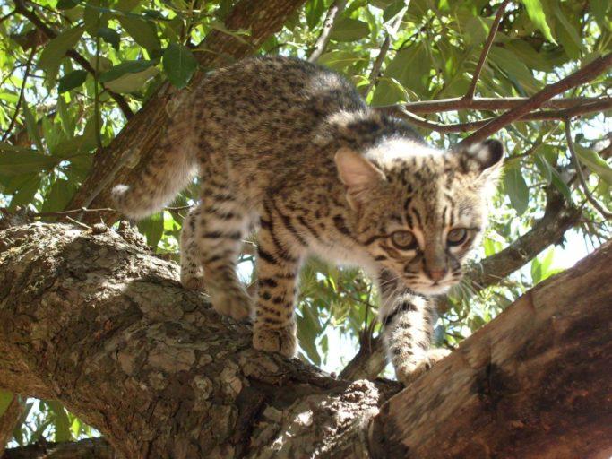 El gato montés es una de las especies de fauna registradas en la reserva de Tariquía. Foto: Servicio Nacional de Áreas Protegidas.