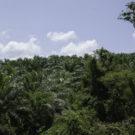 Plantación de Palma Africana en el ejido boca Chajul, ubicado en la frontera con Guatemala, Selva Lacandona, Chiapas.