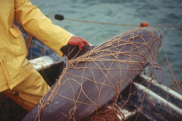 Las redes para pescar totoaba son la mayor amenaza para las vaquitas. Foto: Rebecca Kessler.