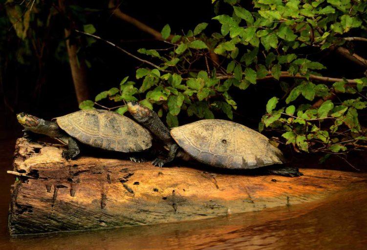 La peta de río se distribuye en las cuencas hidrográficas del Amazonas y del Orinoco. Foto: Eduardo Franco Berton.