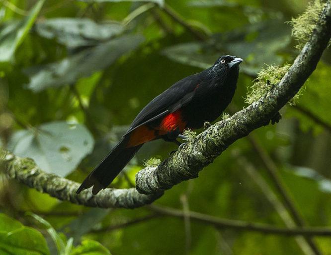 Aves de Colombia: Cacique candela o turpial de vientre rojo (Hypopyrrhus pyrohypogaster) es una especie endémica de los Andes Colombiano