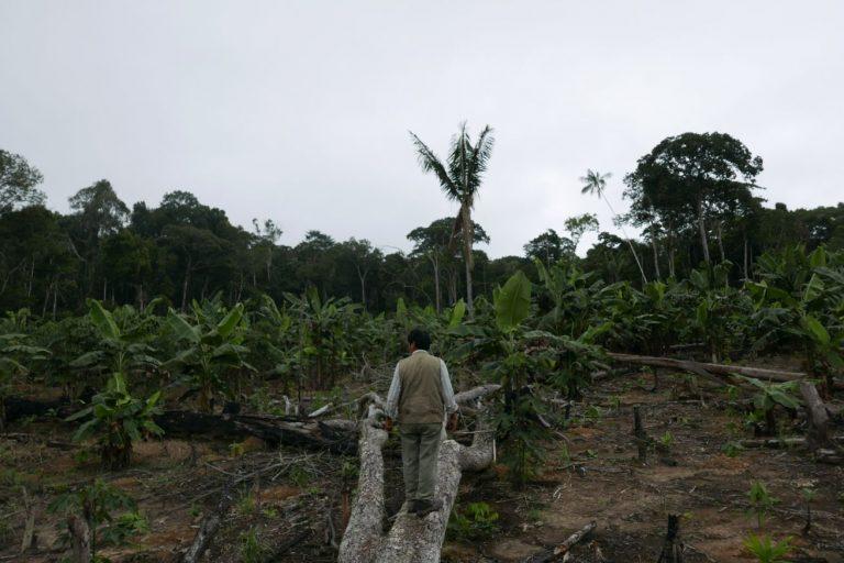 Demetrio Pacheco mira parte de su concesión. Acá quemaron todo y luego sembraron plátano. Un cultivo que crece rápido y con el que aprovechan para denunciar los cambios de uso de los concesionarios. Foto de Jack Lo.