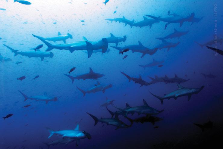 El tiburón martillo es muy común en las islas Galápagos. Foto: Dirección del Parque Nacional Galápagos