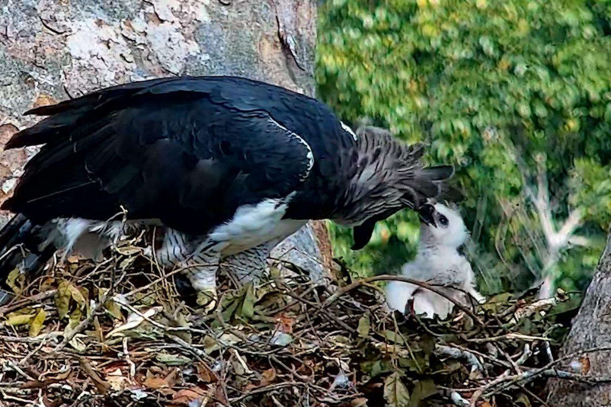 águila Harpía Conociendo De Cerca Al Ave Que Reina El Cielo Amazónico
