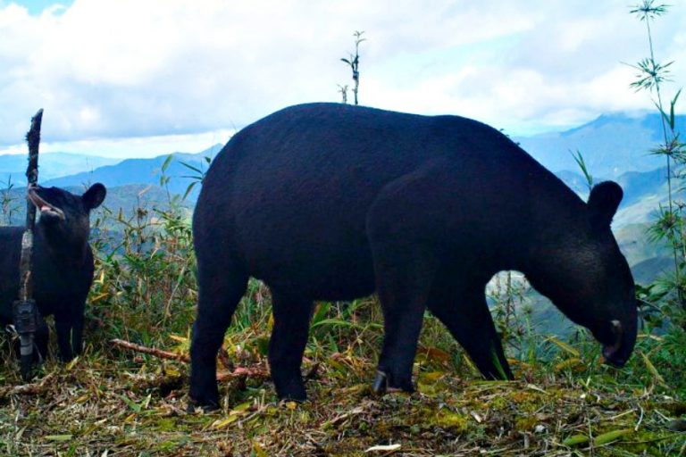 El tapir de montaña es una especie que habita en el planeta hace varios millones de años. Foto: WWF Perú.