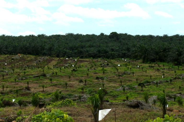 Cultivos de palma africana en Kukra Hill pertenecientes a la empresa Cukra Development Corporation S.A. Foto: Michelle Carrere.