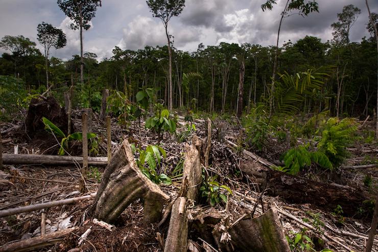 Perú sentencia Dennis Melka Imágenes de los terrenos deforestados en Tamshiyacu obtenidos durante una visita de campo. Foto: Diego Pérez.