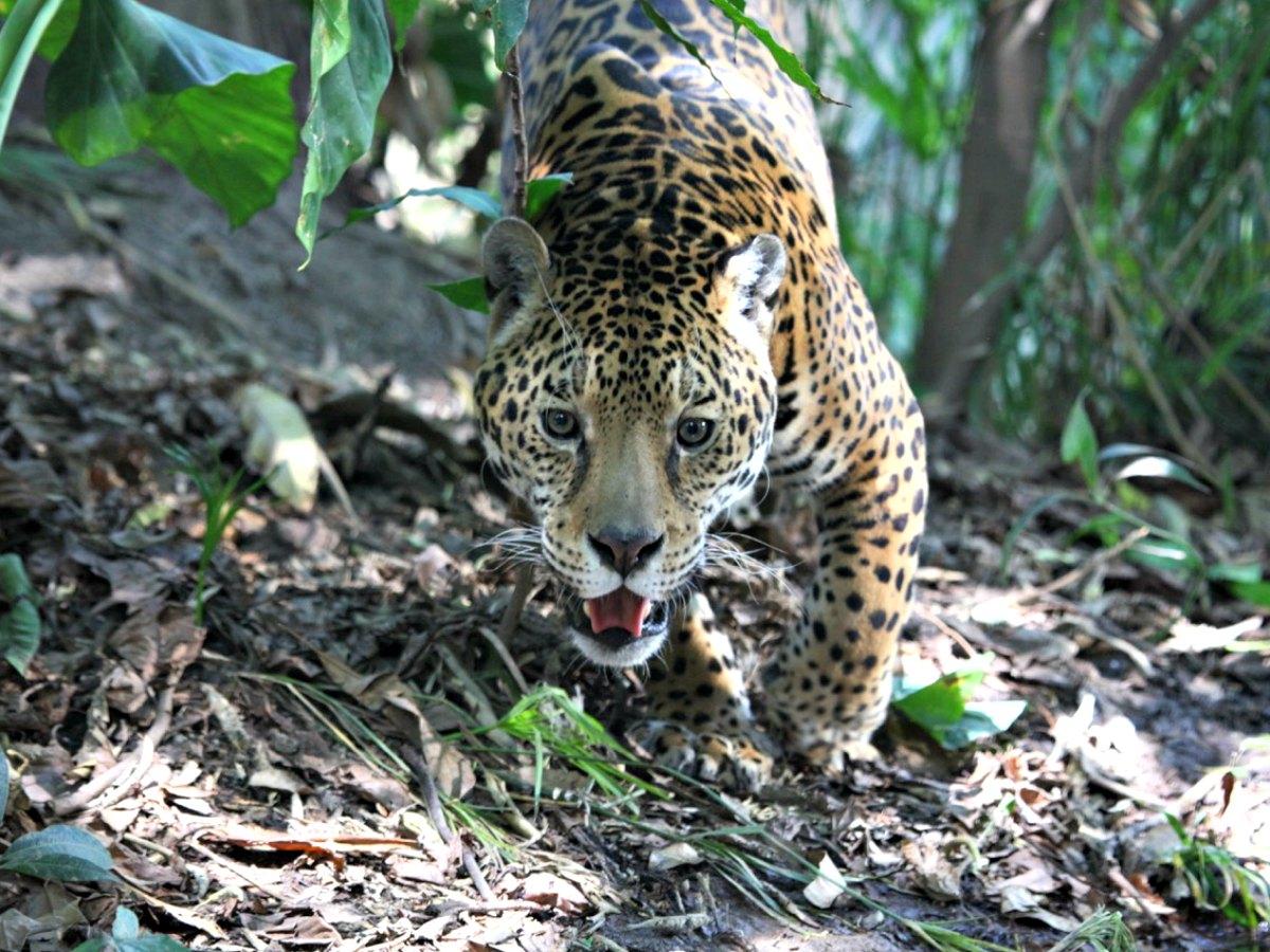 felinos de Latinoamérica