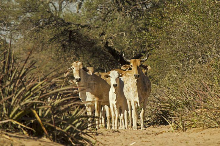 La ganadería extensiva es una de las causas de la pérdida de bosques en Bolivia. Foto: Eduardo Franco Berton