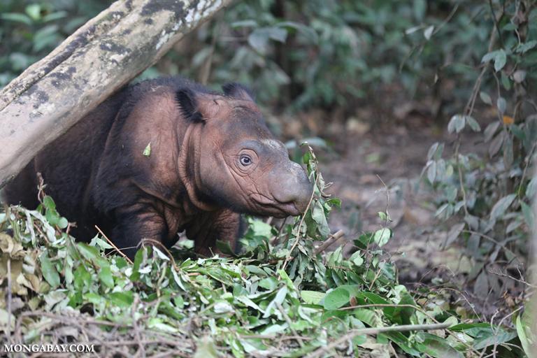 rinoceronte de sumatra cría