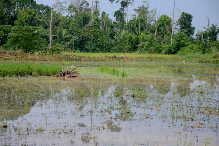 Las invasiones de los bosques en Ucayali se atribuyen a quienes se dedican al cultivo de arroz. Foto: Yvette Sierra Praeli.