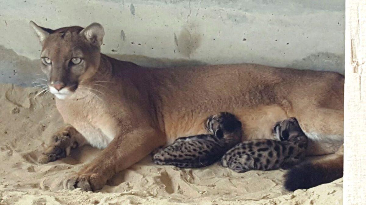 legal claridad Ellos  Perú: nacen los primeros pumas en cautiverio en zoológico de Piura