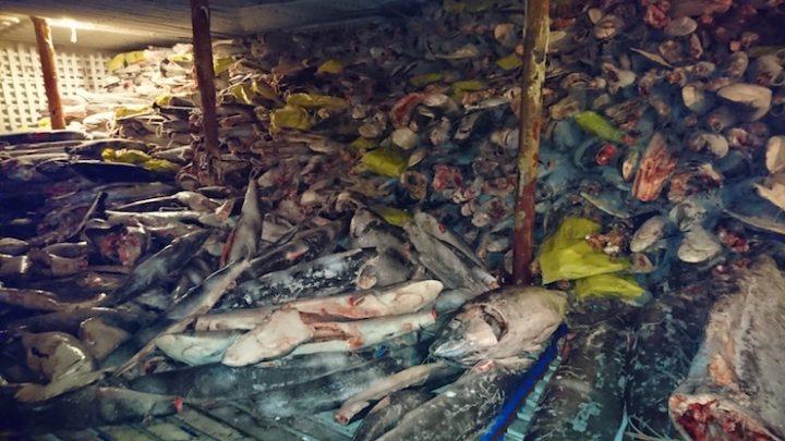 Autoridades informaron que en frigoríficos se hallaron especies protegidas, como tiburón Martillo y tiburón Silky (sedoso). Foto: Dirección de Parque Nacional Galápagos