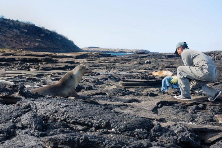 La población de lobos marinos de Galápagos se ha reducido en los últimos 40 años. Foto: Irene Méndez.