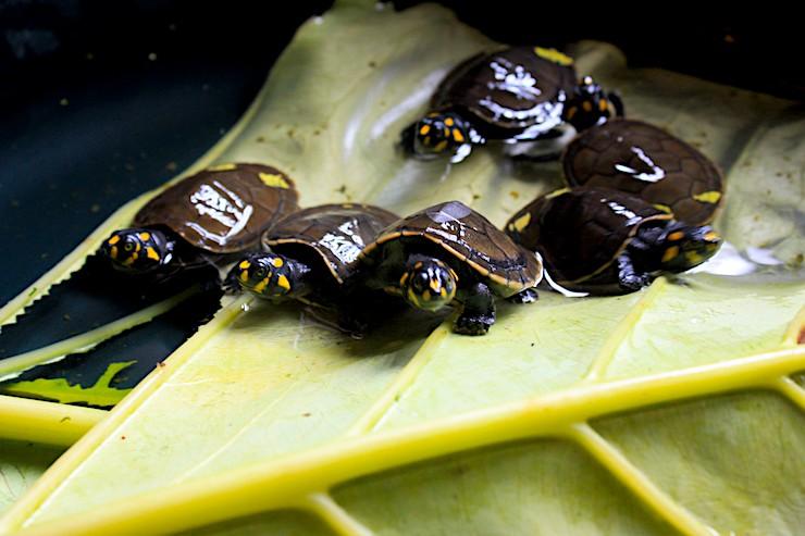 Crías de tortuga charapa pequeña. Se caracterizan por unas manchas amarillas en la cabeza. Foto: Valeria Sorgato.