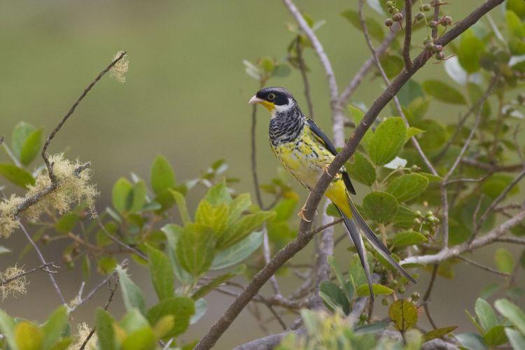 En Bolivia existen más de 1400 especies de aves, entre ella la palkachupa, una especie endémica. Foto: Steve Huggins / Asociación Armonía.