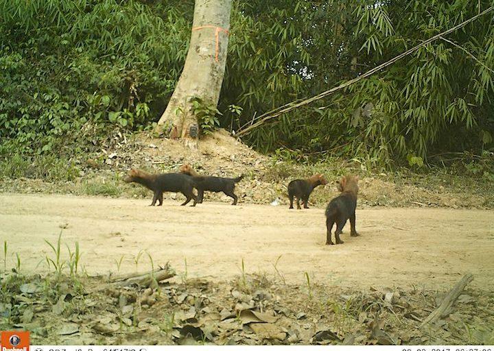Perros de monte (Spheotus venaticus). Foto: WWF Perú.