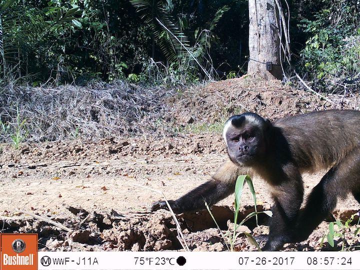 El mono machin negro (Sapajus apella), una de las especies registradas con las cámara trampa instaladas en los bosques de Tahuamanu. Foto: WWF Perú.
