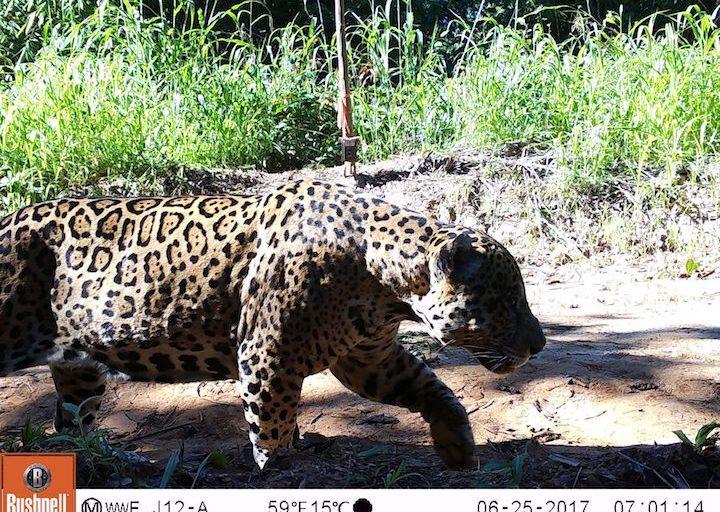Jaguar registrado en la provincia de Tahuamanu. Foto: WWF Perú.