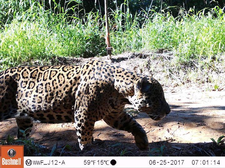 Un jaguar (Panthera Onca) camina frente a una cámara trampa instalada en los bosques de Tahuamanu. Foto: WWF Perú.