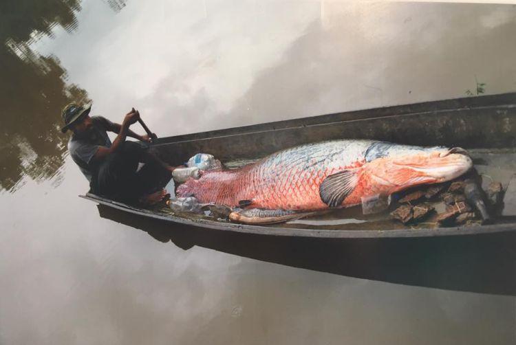 La pesca del paiche podría proporcionar estabilidad económica a los pescadores de un país con alto índice de pobreza. Foto: Faunagua