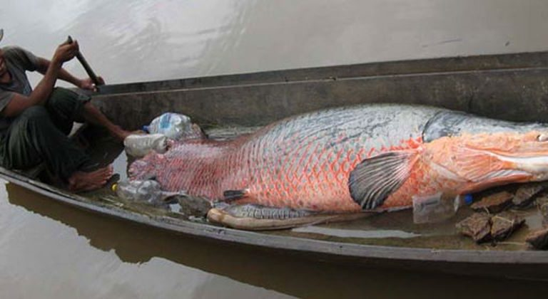 El desarrollo de la pesca del paiche podría proporcionar un mayor ingreso y estabilidad a los pescadores de una región del país donde se encuentra un alto índice de pobreza e inseguridad alimentaria. Foto de Faunagua