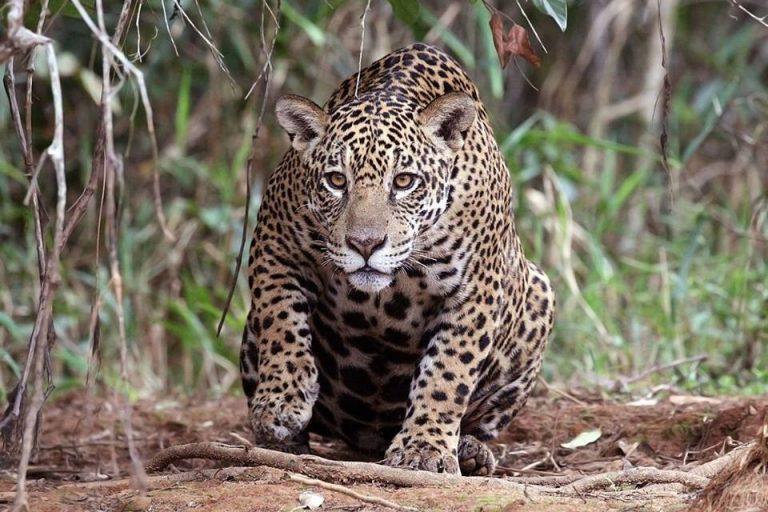 El jaguar está en peligro en algunas regiones de Colombia. Foto: Wikimedia Commons