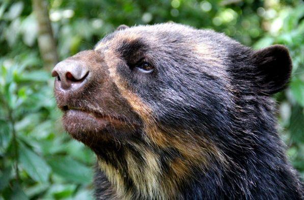 Día Mundial para la Protección de los Osos: oso de anteojos