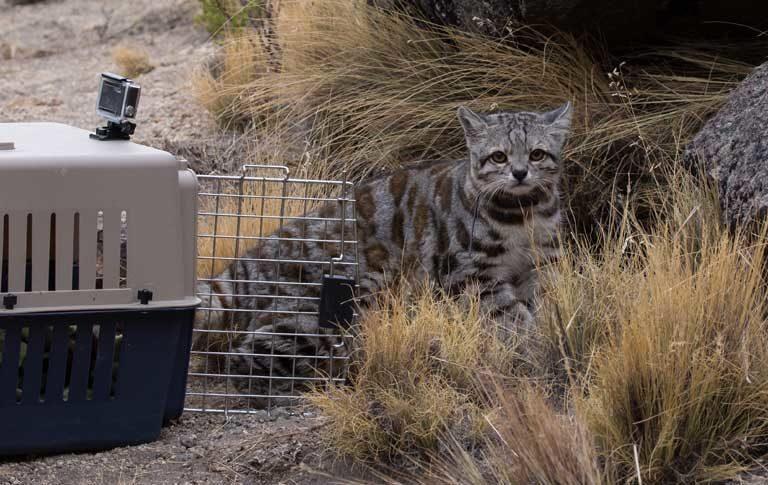 Jacobo sale de su jaula transportadora. Foto: Juan Reppucci / cortesía de Alianza Gato Andino