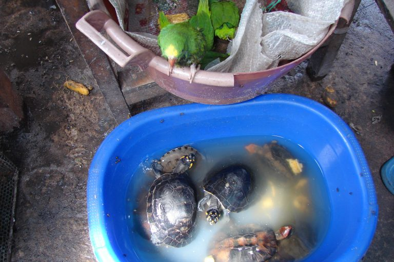 En condiciones deplorables mantienen a los animales para ser vendidas de manera ilegal. Foto: WCS.