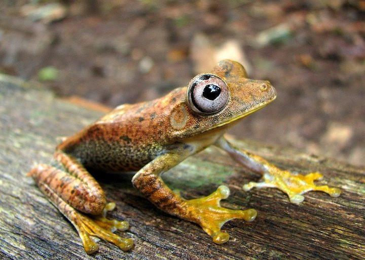 La rana Hypsiboas es endémica en el Parque Nacional Yaguas. Foto: John Jairo Mueses-Cisneros.
