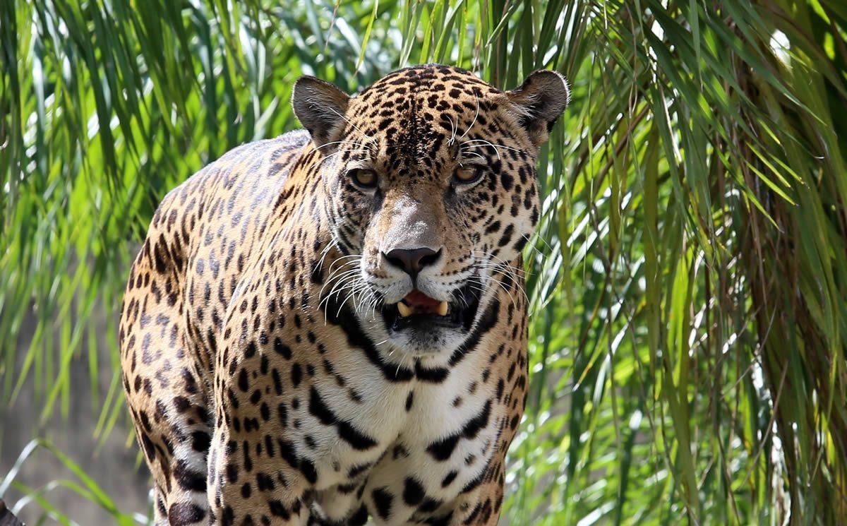 Bolivia: Mafia le arranca los colmillos al jaguar, el gran felino de ...
