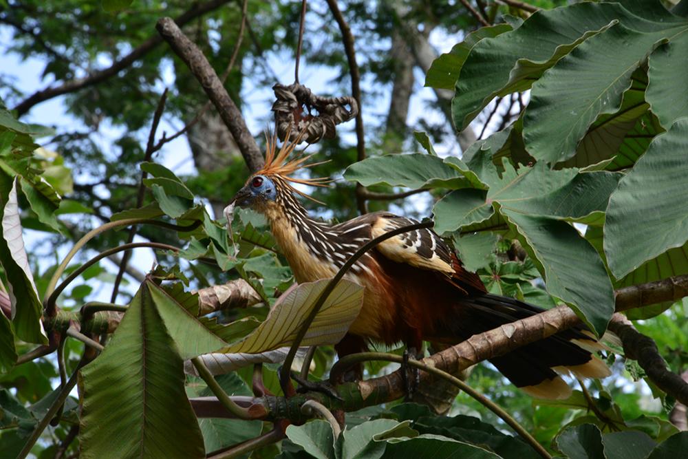 Pava hedionda hoacín Colombia