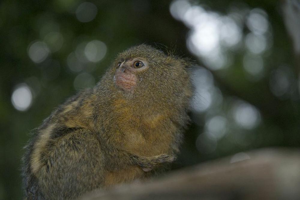 Tití pigmeo Colombia