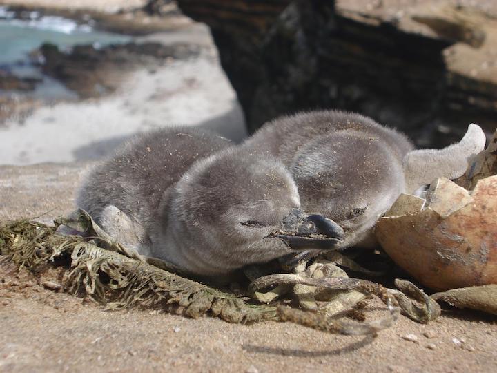 El macho se hace cargo de las crías; mientras la hembra sale por alimentos. Foto: Proyecto Punta San Juan.