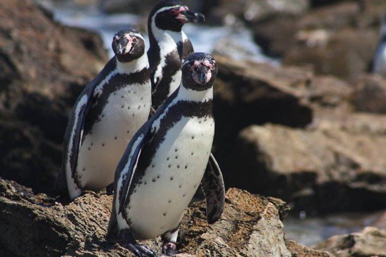 Los pingüinos de Humboldt (Spheniscus humboldti) son una especie catalogada como vulnerable por la Unión Internacional de la Conservación de la Naturaleza (IUCN por sus siglas en inglés). Foto: Proyecto Punta San Juan.
