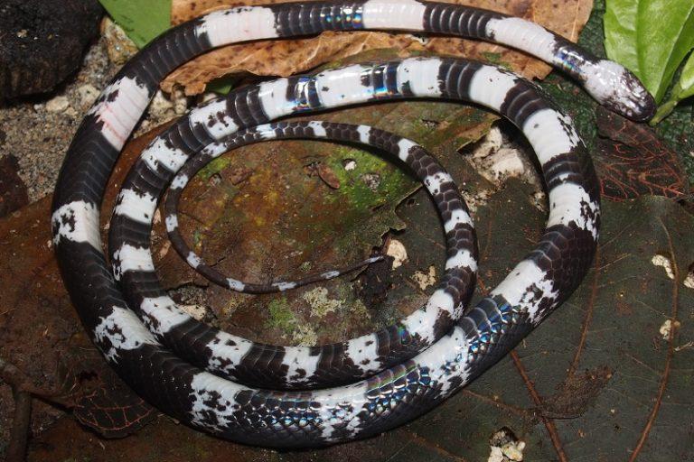 Lycodon sidiki es la séptima especie en la familia más grande de serpientes, la Colubridae, que se descubrió que es endémica de la región de la Plataforma de la Sonda en el sureste asiático. Foto de la revista Zootaxa.