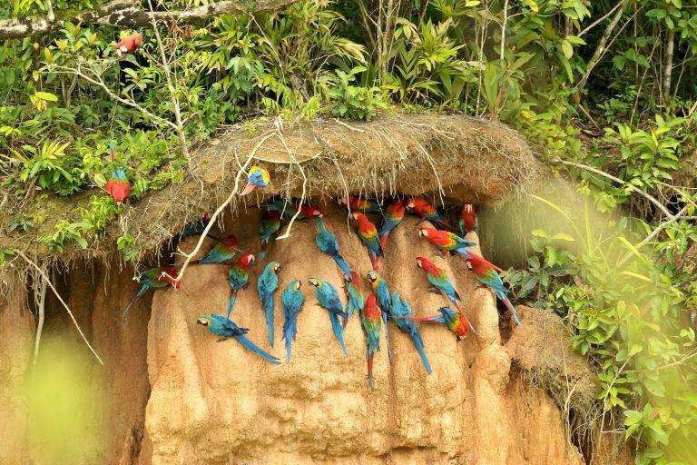 Una colpa de guacamayos, aves que habitan la Reserva Nacional Tambopata. Foto: Liz Villanueva.