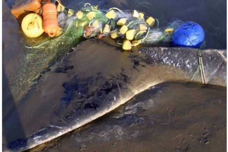 océanos plásticos y basura marina Tiburones y otras especies marinas quedan atrapadas en las redes de pesca. Foto: EcOceánica.