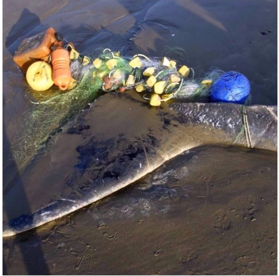 Especies marinas mueren atrapadas en redes abandonadas en el mar. Foto: Ecoceanica.