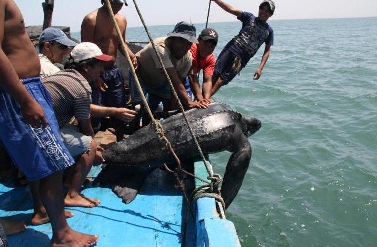 Durante las jornadas de pesca, especies amenazadas como las tortugas marinas quedan atrapadas en las redes. Foto: ProDelphinus