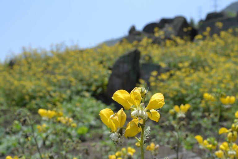 La flor de amancaes ha sido reintroducida en las lomas, luego de que desapareciera años atrás. Foto: PAFLA.