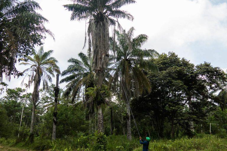 Calderón usa hábilmente un palo largo para cosechar fruta de una palmera de aceite. Foto de Bram Ebus para Mongabay